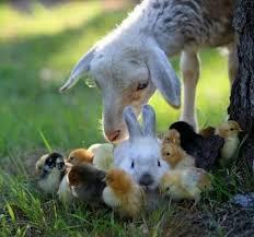 lamb,chicks